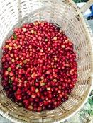 Freshly harvest coffee beans.