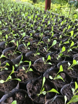Greens in seedling stage.